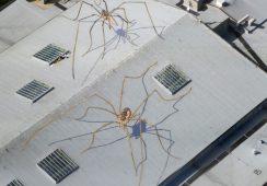 Gigantyczne pająki na dachu The Seattle Center Armory