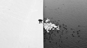 Marcin Ryczek, A Man Feeding Swans in the Snow, 2013